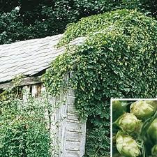 nugget hops vine gurney s seed nursery co