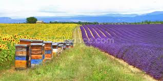 purple lavender field and bee hives wallpaper wall mural purple lavender field and bee hives wall mural photo wallpaper