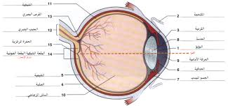 Anatomy And Physiology Study Tools File Eye Anatomy Jpg Wikimedia Commons