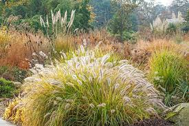 pennisetum alopecuroides moudry ornamental grasses rhs