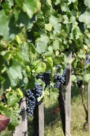 95 best growing grapes images on pinterest growing grapes grape