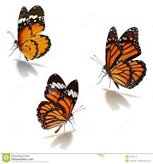 three orange monarch butterfly stock image image of insect