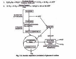 energy yield of aerobic respiration