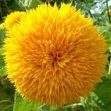 teddy sunflowers teddy sunflower my of paradise