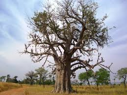 travel theme a baobab tree in africa traveller on a mission