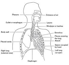 structure of the cardiovascular system human anatomy chart