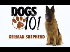 afghan hound dogs 101 dogs 101 american eskimo eng youtube animals that i would