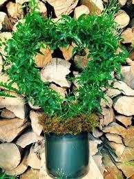 Fragrant Jasmine Plant - heart shaped fragrant jasmine plant u2013 gardenstore
