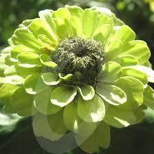 Lime Green Flowers - 54 best cut flower green images on pinterest cut flowers green