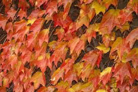 red yellow climbing plants for walls in autumn stock photo