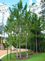 native plants in florida uf ifas extension polk gardening pine trees in florida