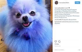 shaving a australian shepherd why shaving a husky is bad but doggie fur dye isn u0027t