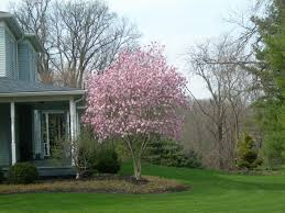 maple ornamental tree in the front yard ornamental trees for