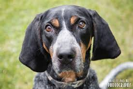 bluetick coonhound in florida bluetick coonhound dogs for adoption in usa
