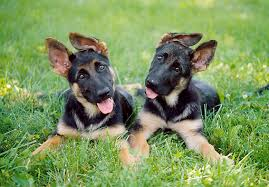 belgian sheepdog pros and cons boy dog or dog