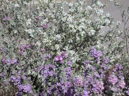 bougainvillea u2013 tjs garden