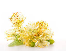 linden flower branch of linden flowers stock image image of honey 25376645