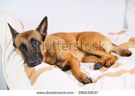 belgian shepherd dog belgian shepherd dog stock images royalty free images u0026 vectors