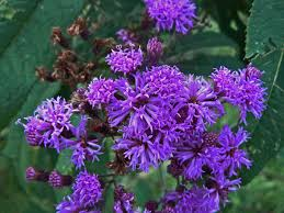 plants native to tennessee tennessee wildflowers what u0027s that purple flower out there