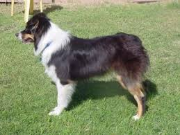 australian shepherd pictures australian shepherd dog breed pictures 1
