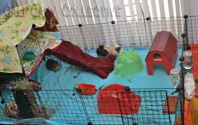 Cages For Guinea Pigs Cali Cavy Collective A Blog About All Things Guinea Pig Current
