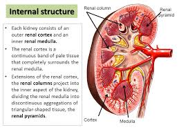 Pyramids Of The Medulla Anatomy Of The Kidney Ppt Video Online Download