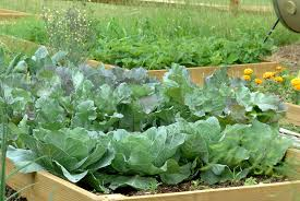 cabbage in raised bed harvest to table