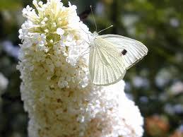 file large white butterfly by flycatcher jpg wikimedia commons