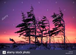 one sided arctic black spruce picca mariana tree silhouette at