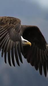 best 25 eagle bird ideas on pinterest pretty birds golden