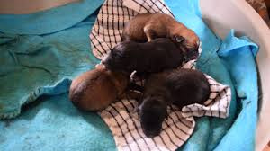 belgian shepherd x border collie belgian malinois and border collie cross puppies one day old 18th