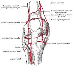 Nerves In The Knee Anatomy Dissector Answers Leg U0026 Foot