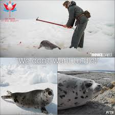 in its 150th year urge canada to end the commercial seal