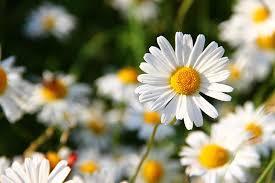 gerbera daisies are gerbera daisies perennials the will you