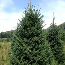 balsam fir christmas tree 10 ft christmas trees christmas tree fundraising programs for