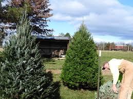 twin steeples farm christmas trees twin steeples farm llc