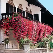 geranien balkon sortiment hänge geranien 18 stück gärtner pötschke