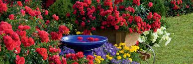 flower carpet ground cover roses your easy garden