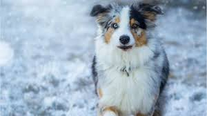 australian shepherd yoga video this dog learned to irish dance and her skills are seriously