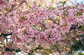 ornamental cherry trees westwood gardens