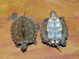 map turtle ouachita map turtles for sale from the turtle source