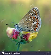 chalkhill blue polyommatus coridon butterfly on flowers stock