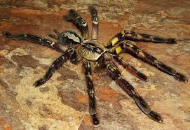 10 most venomous spiders around the world listamaze