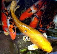 250 best koi and fish ponds images on goldfish