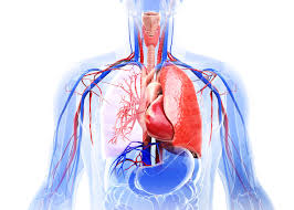 What Is Human Anatomy And Physiology Mediastinum Definition Anatomy Contents And Conditions