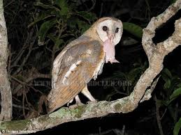 Scientific Name Of Barn Owl Ceylon Bird Club Birds Of Sri Lanka Sri Lankan Birds Endemic