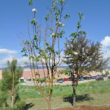 sparse crab apple tree leaves ask an expert