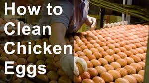 how to clean chicken eggs youtube