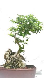 jasmine root over rock bonsai tree