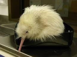 25 best kiwi bird kiwis national bird of new zealand images on